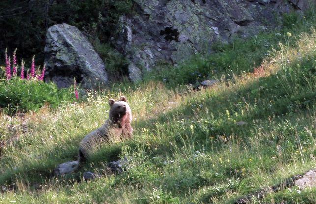 Ours des Pyrénées, et deux de plus …