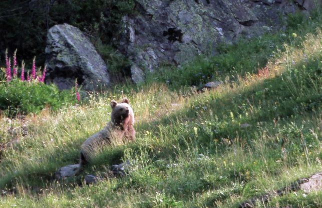Ours, le rapport qui met le feu aux Pyrénées