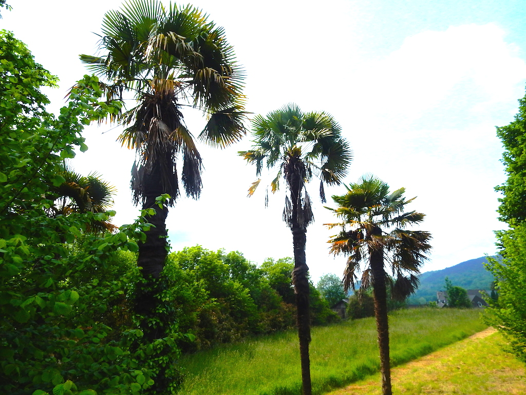palmier n'est pas un arbre